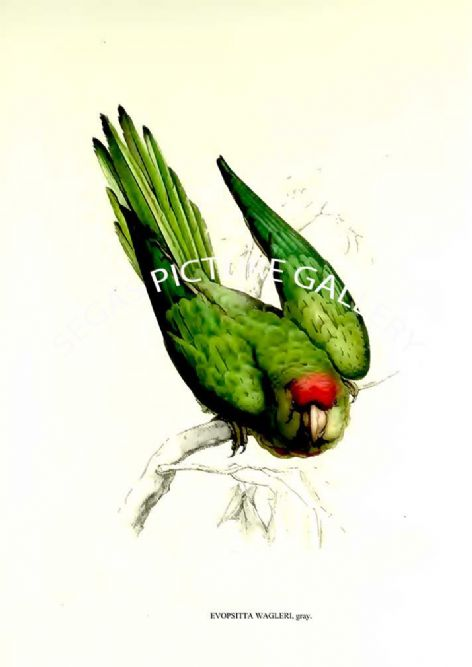 Fine art Print of the Evopsitta Wagleri, Gray. by Charles De Souance (1857)